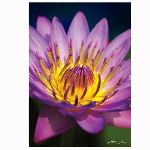 Trefl Puzzle Nature Limited Edition : Nénuphar 1000 pièces