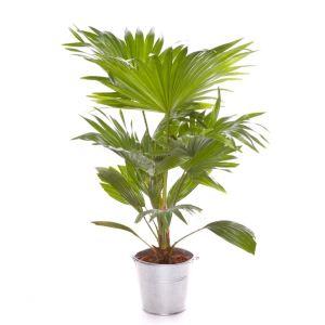 Liste Verte Livistona 40 cm