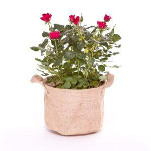 Liste Verte Rosier rouge 30 cm