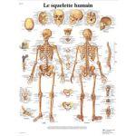 Squelette humain - Planche anatomique
