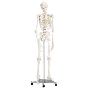 Squelette corps humain articulé de taille réelle