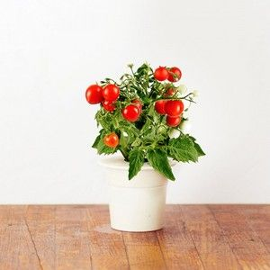 Click and Grow Recharge Mini Tomates