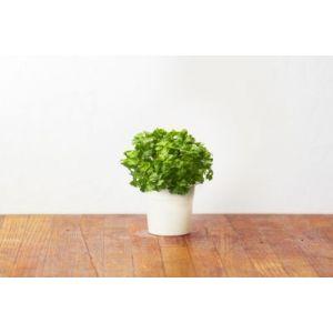 Click and Grow Recharge Persil (lot de 3)