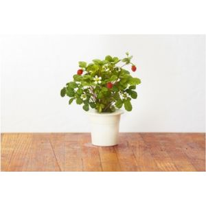 Click and Grow Recharge Fraises
