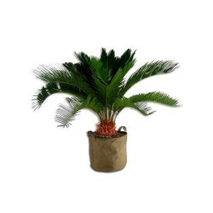 Liste Verte Cycas 30 cm