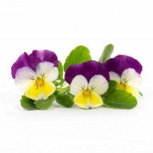 Veritable Capteur pour plantes LINGOT PENSEE