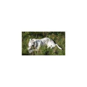 Anima Peluche Tigre blanc couché 150 cm