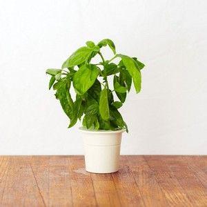 Click and Grow Recharge Basilic