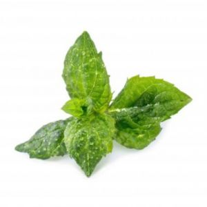 Veritable Capteur pour plantes LINGOT MENTHE VERTE