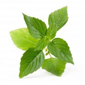 Veritable Capteur pour plantes LINGOT BASILIC THAI