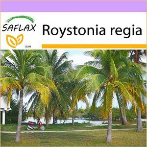 Saflax Palmier royal de Cuba - 8 graines - Roystonia regia