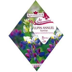Royalfleur Pfrk20658 Graines De Lupin Annuel Sunrise Surprenant