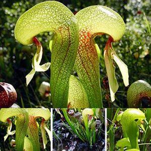 Kisshes Seedhouse - Graines de Dionée Muscipula Vert, Dionée attrape-mouche, plante carnivore attrape-mouche de Vénus grainé fleur jardin résistant au froid (AIMADO, neuf)