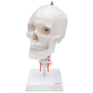 Skelett24 - S24.2141 - Crâne humain Modèle anatomique éducatif, 4 pièces avec colonne cervicale (Cranstein Scientific, neuf)