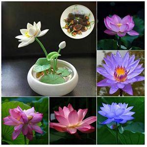 Adolenb Seeds House- 20pcs rareté fleur de lotus, lotus coloré plantes hydroponiques plantes aquatiques pot de jardin semences de bulbes à fleurs ornementales pour le jardin (adolenb, neuf)