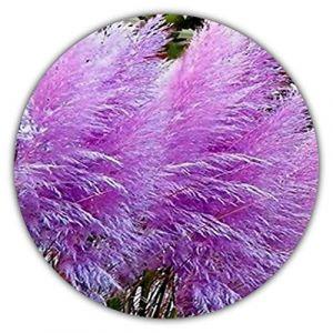 Violet la Pampa/herbe décoratif (cortaderia selloana) env. 50graines (Samenquelle, neuf)