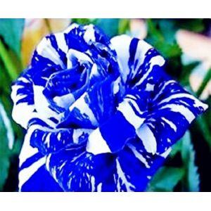 Xuanqin graine de rose rosier bleu rayure blanche bleu dragon lot de 50 graines (Xuanqin, neuf)