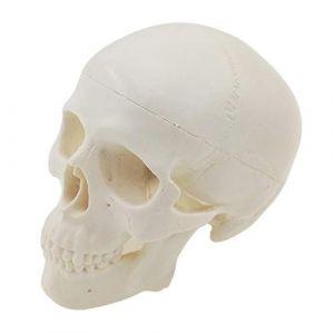 BIingkee Crâne anatomique humain, modèle de crâne Humain de Taille réelle Anatomique Anatomique enseignement médical tête de Squelette étudier des Fournitures d'enseignement (Barry Carpenter, neuf)