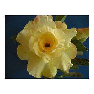 Adenium obesum Luangpaumsap - Rose du désert - Faux baobab - 3 graines (Seeds Shop, neuf)