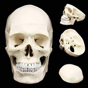 Taille De Vie Crâne Humain Modèle Anatomique, Crâne Médecine, Aide À La Formation Médicale, Peut Être Peint, Ou Forée Sablée, 19,5 X 15 X 21Cm (Shijie's shop, neuf)