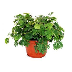 "Mimosa pudica ""Touch-Me-Not"" - The Plant That Reacts To Your Touch - 9cm Pot (Exotenherz, neuf)"