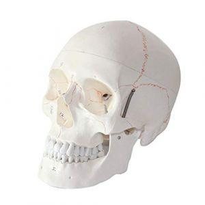 Taille de la vie humaine Crâne anatomique avec signe, Squelette humain crâne Anatomie modèle médical pour la science crâne Anatomical enseignement, aide à la formation médicale (Shijie's shop, neuf)