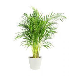 Palmier | Plante verte | Plante intérieur | Hauteur 100 cm | Pot 21 cm | Livré avec cache pot ECOPOT blanc | Areca dypsis lutescens (FLOWY, neuf)