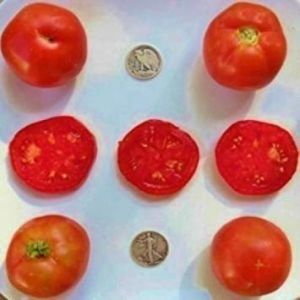 Fash Lady First Pick - Graines de tomates biologiques Heirloom - TrÚs tÎt - 40 graines (Martina Mart, neuf)