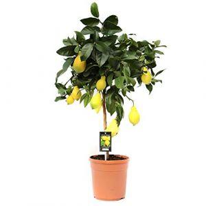 Citronnier en pot | Arbres fruitiers nains | Plante d'intérieur | Hauteur 80 cm | Pot 22 cm | arbre citronnier (FLOWY, neuf)
