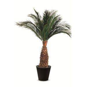 Palmier algave Stabilisé