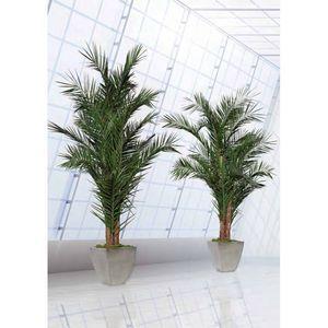 Palmier yuruguano phenix Stabilisé