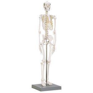 Squelette anatomique articulé à taille réduite