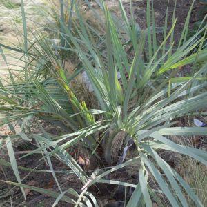 Palmier bleu du Mexique armata | Pot de 30L - 70 cm - CLEMATITE.NET - SAINT CYR EN VAL