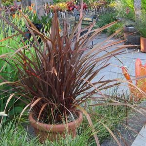 Lin de Nouvelle-Zélande Amazing Red | Pot de 7,5L - 80/100 cm - CLEMATITE.NET - TOURS