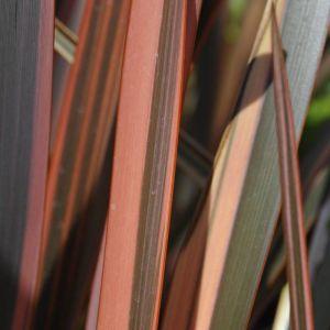 Lin de Nouvelle-Zélande Rainbow Madien | Pot de 7,5L - 80/100 cm - CLEMATITE.NET - TOURS