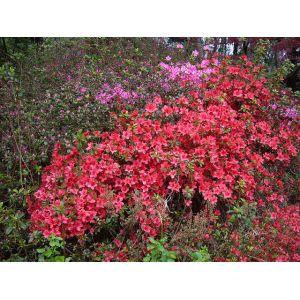 Rhododendron âScarlet Wonderâ