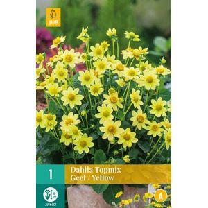 Dahlia Topmix jaune