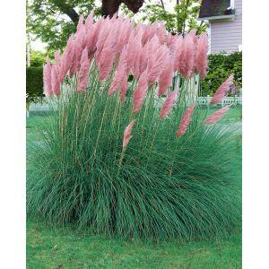 Herbe de Pampa « Pink Feather » (Cortaderia selloana)