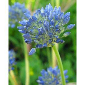 Allium Caeruleum