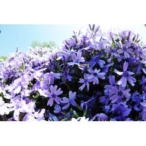 Phlox Subulata mousse Bleu Clair