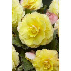 Begonia double jaune