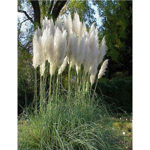 Herbe de Pampa « Pumila » (Cortaderia selloana « Pumila »)