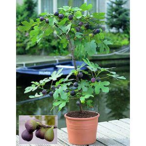 Figuier (Ficus carica)