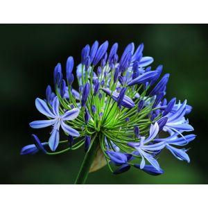Agapanthe Bleu