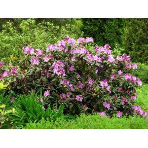 Rhododendron Catawbiense Boursault