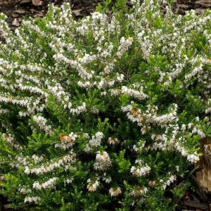 Bruyère dâhiver (Erica) Â« White Perfection » (Pack de Six)