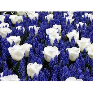Bulbes de printemps Bleu et Blanc