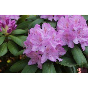 Rhododendron Catawbiense âGrandiflorumâ