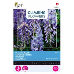 Plantes grimpantes Wisteria bleu