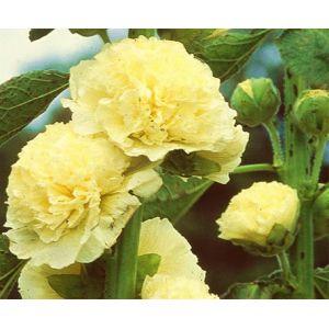 Rose trémière jaune (Alcea rosea)